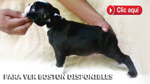 Boston DISPONIBLES