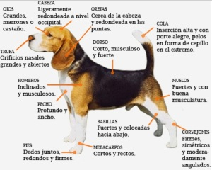 Estándar del beagle